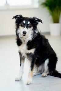 Border-Collie Hündin Baily